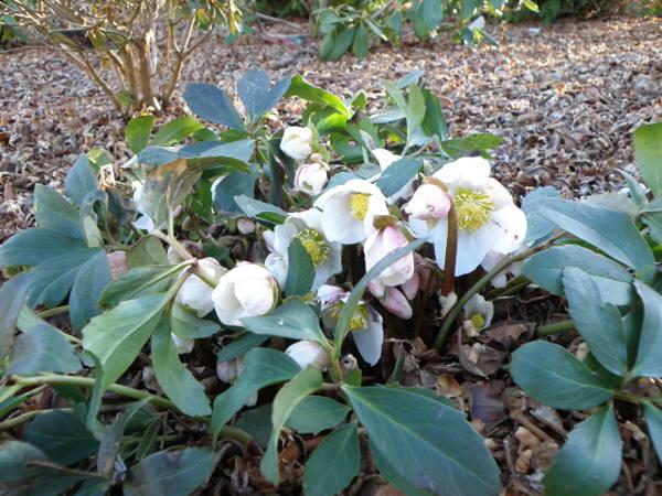 Forår og Helleborus uadskillige