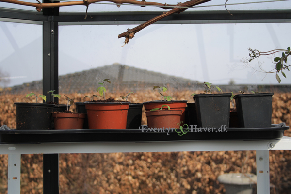 Classica-pavillon-såning-tomater