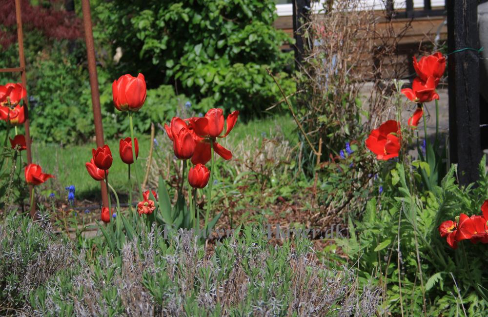 Uhm røde tulipaner... så smukke