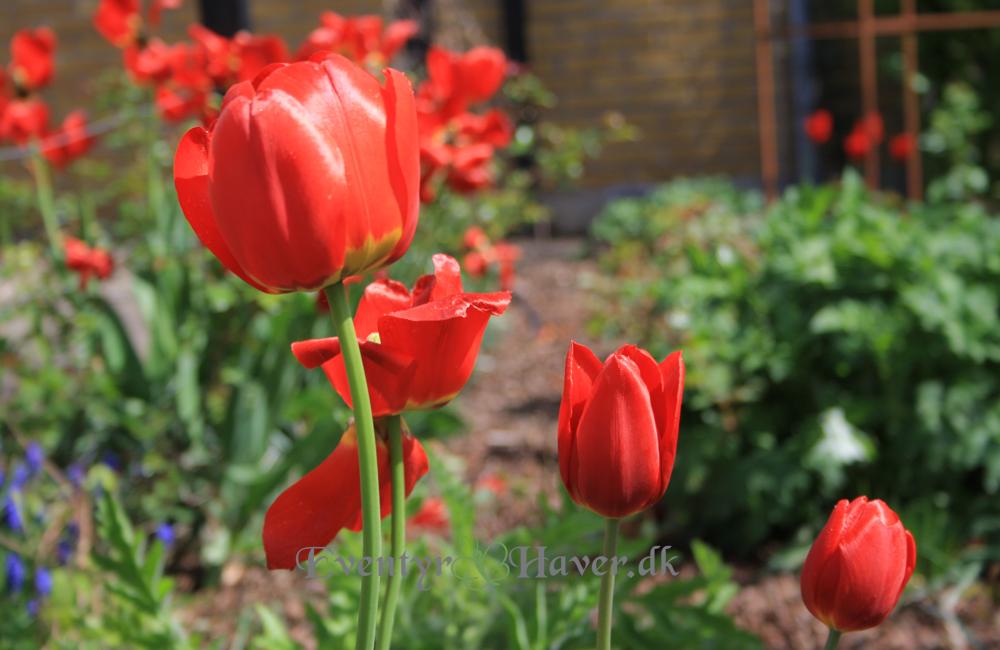 Smukke og dejlige glade røde tulipaner.