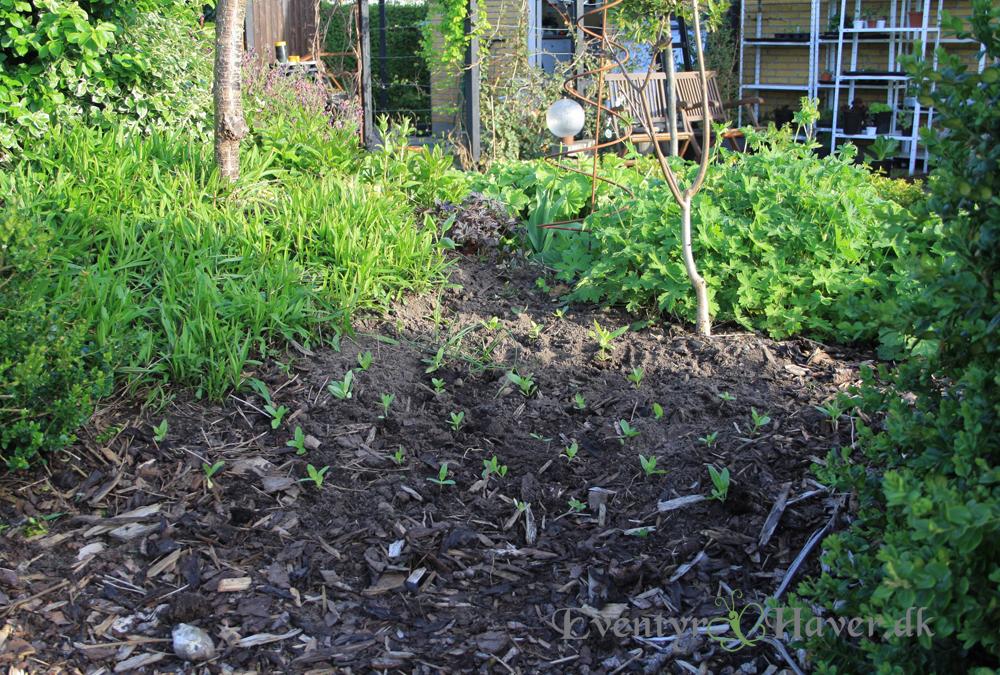 Små frøplanter af zinnia, sat så der er masser at plukke af til buketter