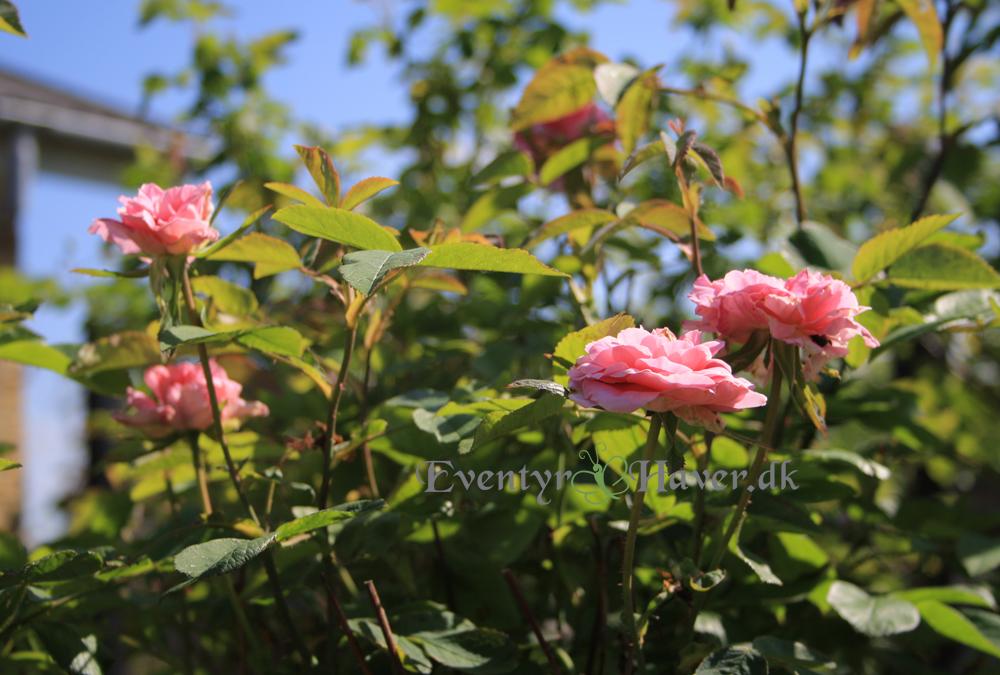 Engelsk rose Mayflower - den 1. til at blomstre i haven i år