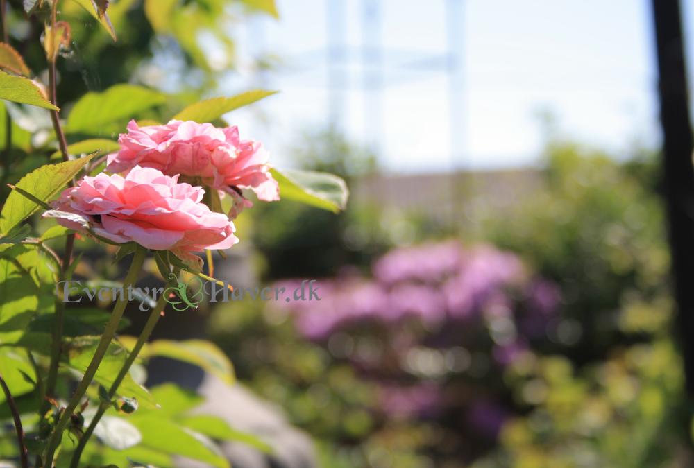 Rosen mayflower blomstre om kap med Rhododendron