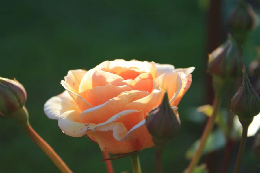 Skøn orange engelsk rose
