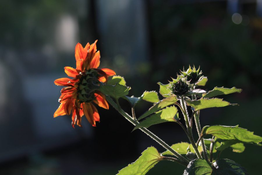 Knib dine solsikker og få flere blomster fra samme base