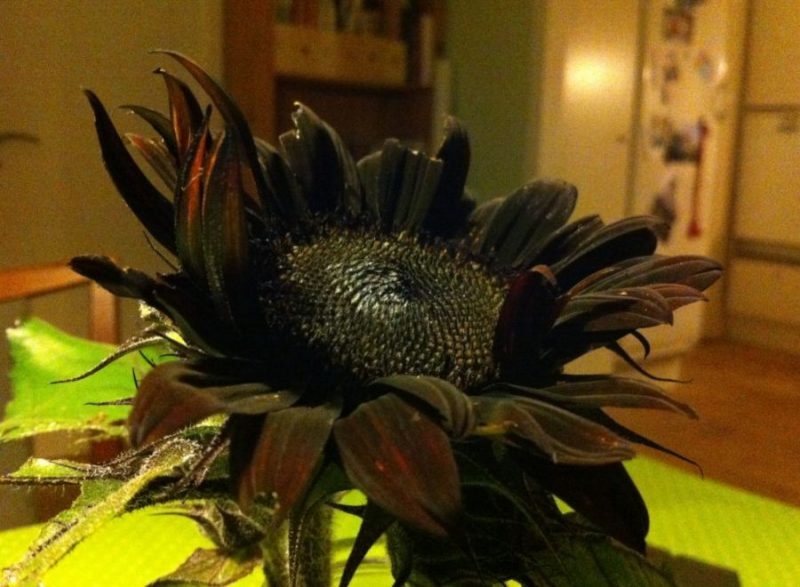 sort solsikke i vase inde om aftenen - billede taget uden blitz