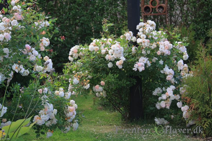 Roserne bliver til buske, med en vulumitiøs skønhed
