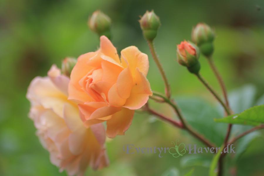 Rosen Ghislaine de Filigonde, en rose til drømmehaven