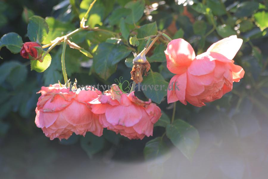Roser i oktoberhaven
