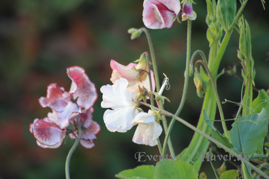 ærteblomster harlekin - Lathyrus