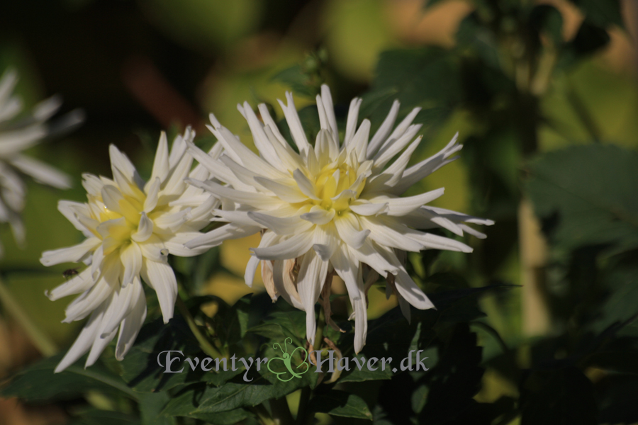 Smukke hvide dahlia i oktoberhaven
