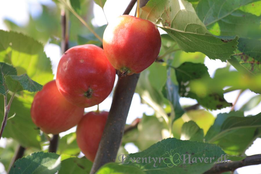 Eventyr Havers fine paradis æbler