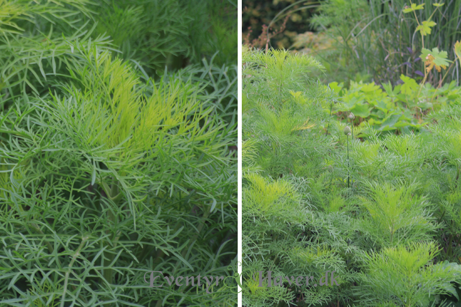 Grønne og frodige stolte kavaler - Cosmos bipinnatus i juli måned