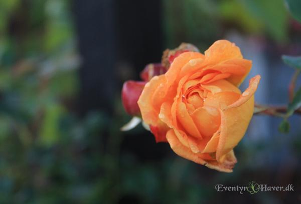 Lady of Shalott rose - en engelsk rosen skønhed