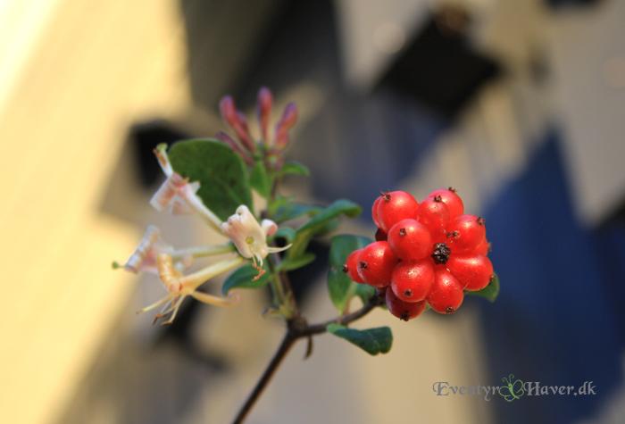 bær fra kaprifolier