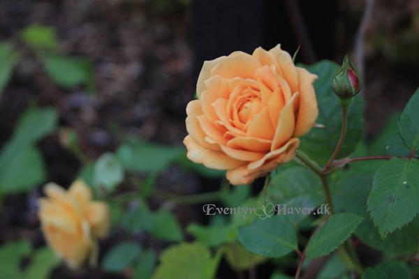 Grace - engelsk rose fra David Austin