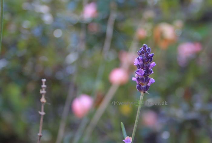 lavendula hidcote blue- lavenel