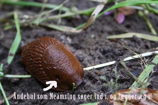 Dræbersnegle er en plage i mange haver slip af med dem nemt og effektivt