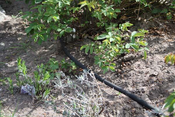 Siveslange ligger tæt rundt om planterne i bedet