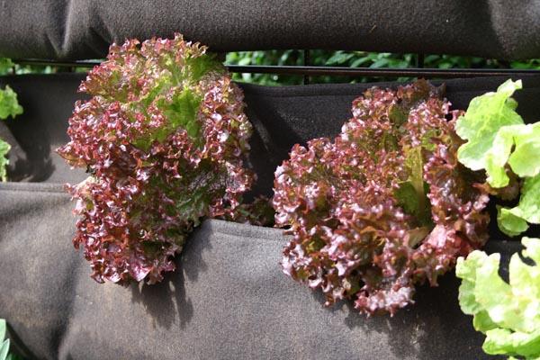 Woolly pockets med flot salat som virkelig har trivedes i vores vertikale have i år