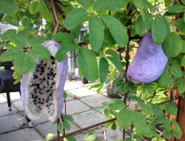 frugt på (Akebia quinata) her ses kød og kerner tydeligt