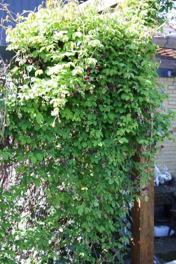 Femfingret Acebia (Akebia quinata) slyngplante med lianer vokser sig stor