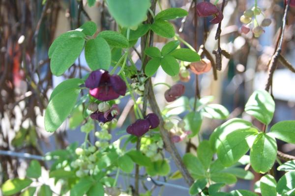 Akebia quinata-slyngplante-3