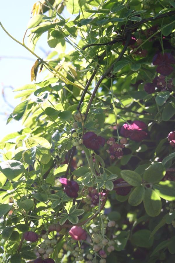 Akebia-quinata-slyngplante-5