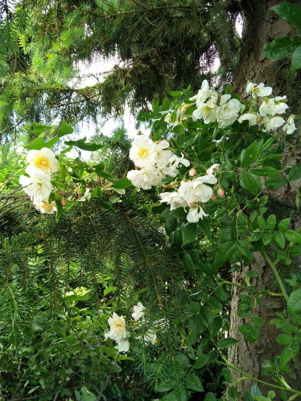 En klatrerose til grantræ - Rose Helenae Lykkefund