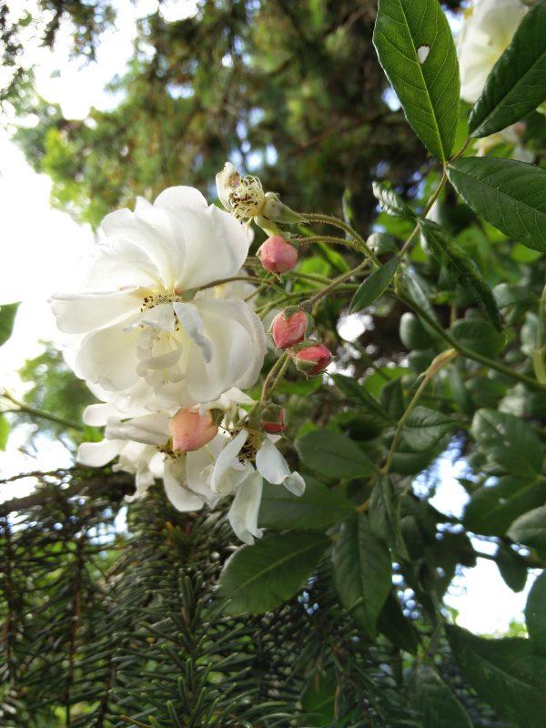 Rose Helenae Lykkefund - en rambler rose eller om du vil en klatrerose