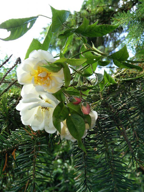 Rose Helenae Lykkefund