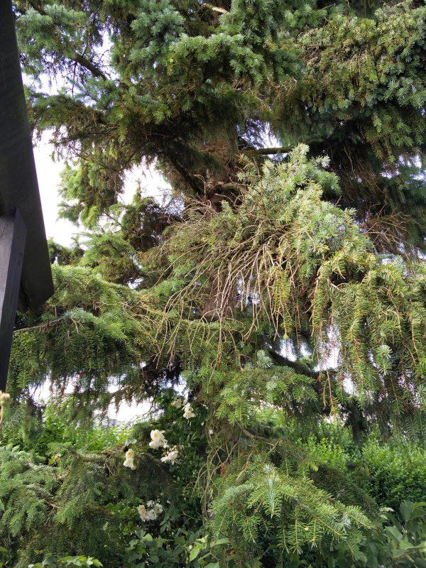 En klatrerose i grantræ, eller på vej op i grantræ