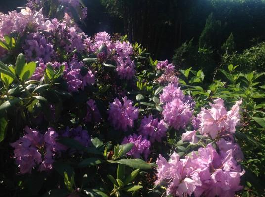 Rhododendron Novazembla