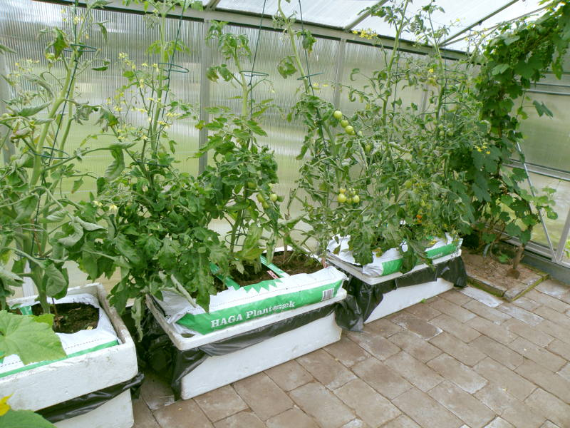 Drivhus med kapillærkasser og plantesække med tomater.