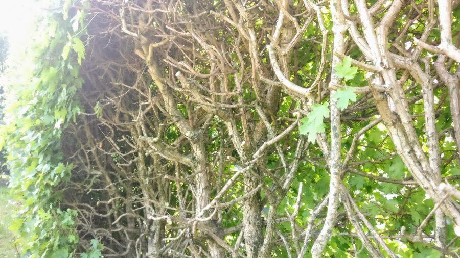 Forny din gamle hæk - klip næsten ind til hoved stammen på den ene side 1. år