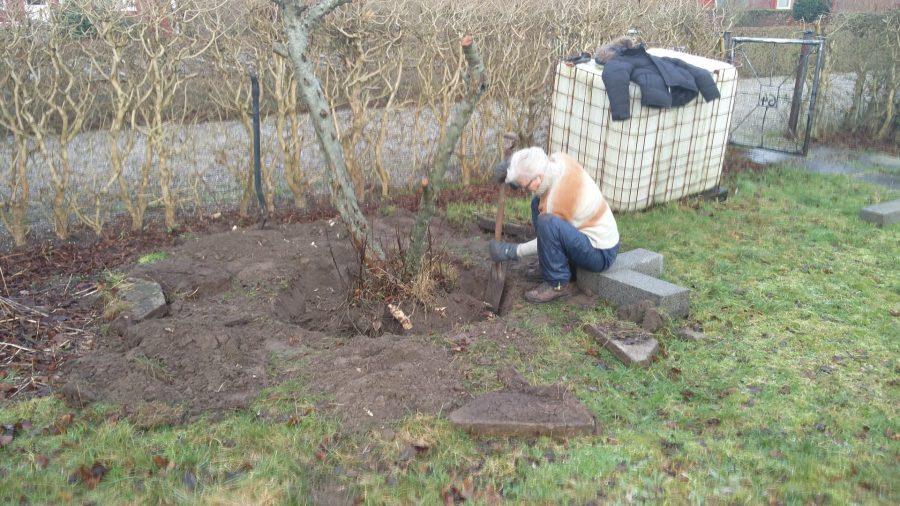 Der er fuld gang i spaden når æbletræets rødder graves over