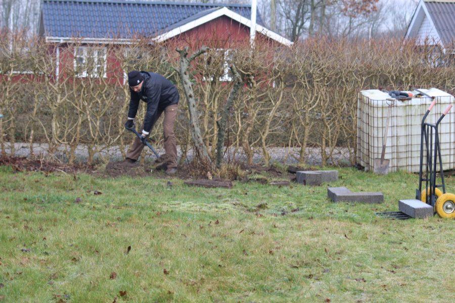 I gang med at grave det gamle æbletræ op