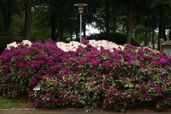 Smuk med baggrund af hvid Rhododendron er den dybt lilla Azurro