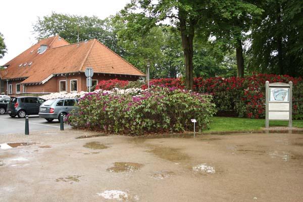 Rhododendron ved parkeringsplads i Brønderselv