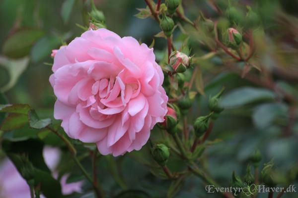 Bonica-rose
