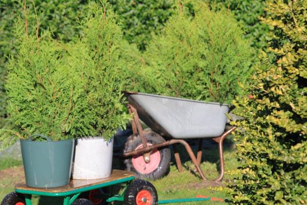 Thujaplanterne vandes godt og op inden plantning