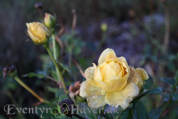 Rose i vintersolen - en vinterbleg Golden Celebration