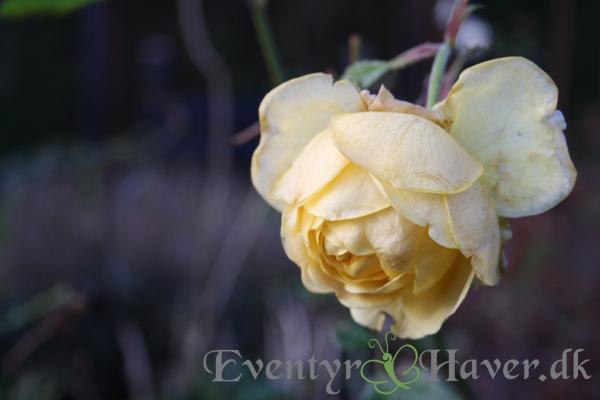 Rose en vinter dag i december - Golden Celebration i vinter farve