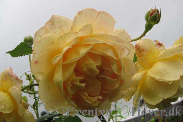 rose Golden Celebration min yndlings rose