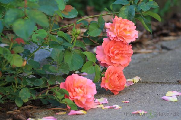Lilian-ausitn-rose