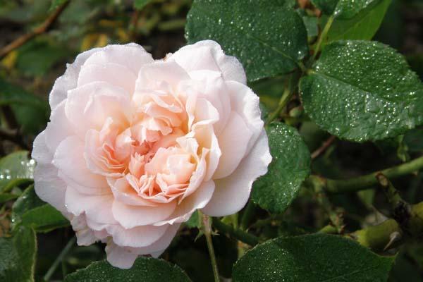 Abrikosfavet engelsk rose Mary Magdalene