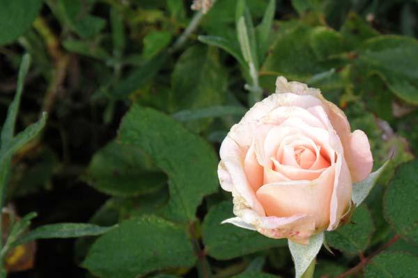 En skøn knop fra Rosen Mary Magdalene