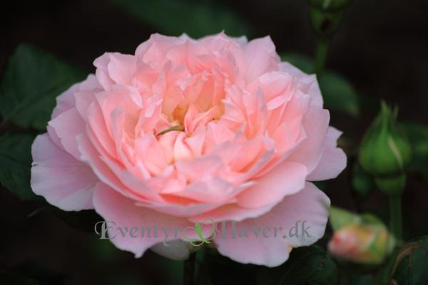 Mary-magdalene-rose