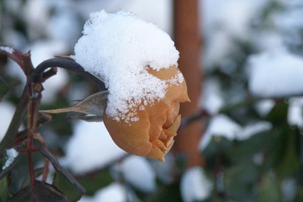 sne og roser, et sjældent syn