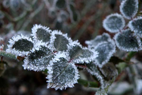 Rosenblade med frost
